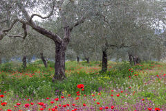Olive trees in the spring garden Stock Images