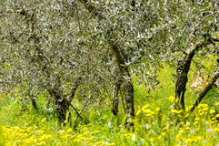 Olive trees in spring Royalty Free Stock Image