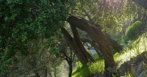 Olive trees in spring time. And sun rays throught the branches stock footage