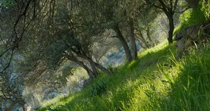Olive trees in spring time. And sun rays throught the branches stock video footage