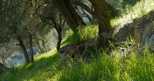Olive trees in spring time. And sun rays throught the branches stock video