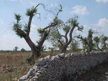 Olive Trees and Stone Wall Stock Image