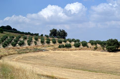 Olive trees in summer landscape Stock Photos