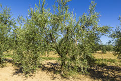 Olive trees. In summer in the Tuscan countryside Stock Image