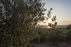 Olive trees and sun rays Royalty Free Stock Photography