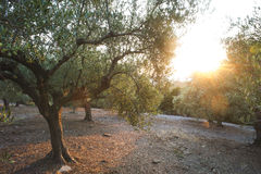 Olive trees and sun rays Royalty Free Stock Images