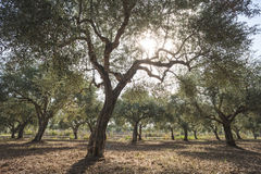Olive trees and sun rays Royalty Free Stock Photo