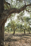 Olive trees and sun rays Stock Image