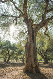 Olive trees and sun rays Stock Photos