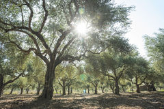 Olive trees and sun rays Stock Images