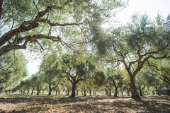 Olive trees and sun rays Royalty Free Stock Photos
