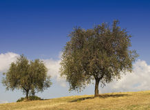 Olive trees in a sunny day Stock Photography