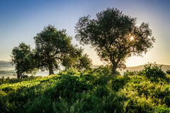 Olive trees at sunrise in summer Royalty Free Stock Images