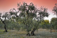 Olive-trees at sunset. Stock Photos