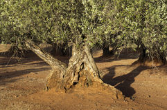 Olive trees at sunset Stock Images