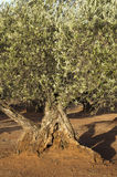 Olive trees at sunset Royalty Free Stock Photo