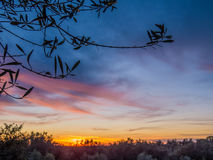 Olive trees at sunset Royalty Free Stock Image