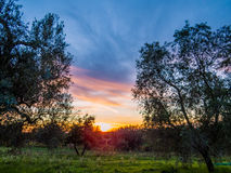 Olive trees at sunset Royalty Free Stock Images