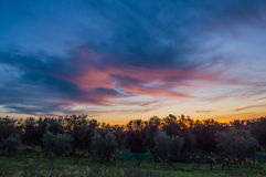Olive trees at sunset Stock Image