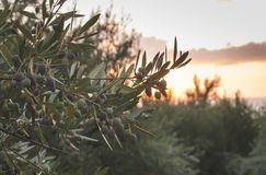 Olive trees on sunset Royalty Free Stock Photo