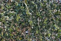 Olive Trees-tak Stock Afbeeldingen