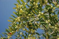Olive Trees-tak Stock Afbeelding