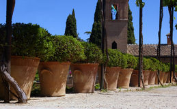 Olive-trees in terracotta pots in summer. Royalty Free Stock Photos