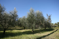 Olive trees in Tuscany stock photo