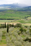 Olive trees in Tuscany Royalty Free Stock Photo