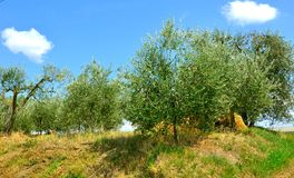 Olive trees in Tuscany , Italy Stock Images