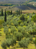 Olive trees in Tuscany, Italy Royalty Free Stock Photography