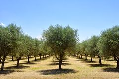 Olive trees, Tuscany, Italy, Europe Royalty Free Stock Photo