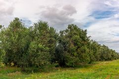 Olive trees in Tuscany loaded with ripe olives in Autumn - 6 stock image