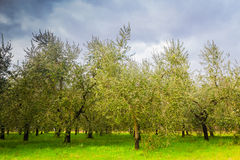 Olive trees in Tuscany Royalty Free Stock Images