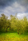 Olive trees in Tuscany Stock Images
