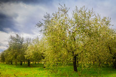 Olive trees in Tuscany Stock Photography