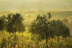 Olive trees in Tuscany at sunrise Stock Photo