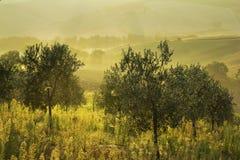 Olive trees in Tuscany at sunrise Stock Photo