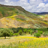 Olive Trees und Wildflowers Stockfoto