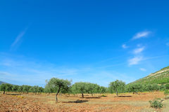 Olive trees under a blue sky Royalty Free Stock Images