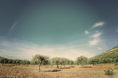 Olive trees under a blue sky in vintage tone Royalty Free Stock Photo