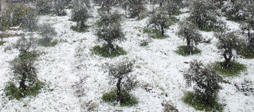 Olive Trees under snöfall Arkivbild