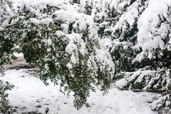 Olive trees under snow. Frozen  olive tree in garden. Cold winter day Stock Photos