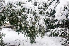 Olive trees under snow Stock Photos