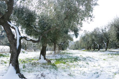 Olive trees under the snow. Royalty Free Stock Photography