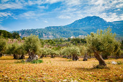 Olive trees valley in Mallorca Royalty Free Stock Images