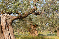 Olive trees valley at Messene in Greece Royalty Free Stock Photo