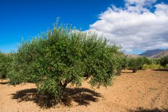 Olive tree with very good productivity of green olives, Crete, Greece. Stock Images