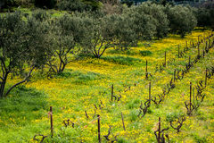 Olive trees in vineyard covered Stock Photo