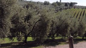 Olive trees and a vineyard on a hillside in Tuscany stock video